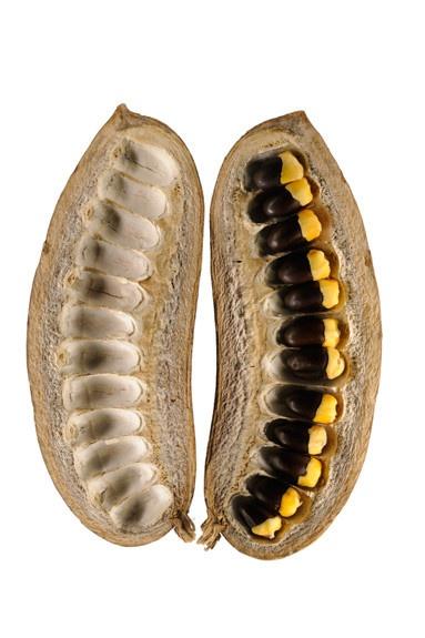 mahoganyseedpods